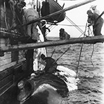 image of Cutting in a Right Whale: View 1
