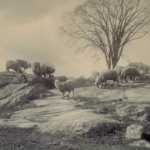 image of Sheep at Lord's Point, Stonington, Connecticut, 1899